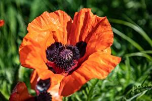 Фото Вблизи Мак Красных Боке цветок