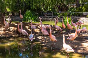 Обои Фламинго Птица Много Пруд