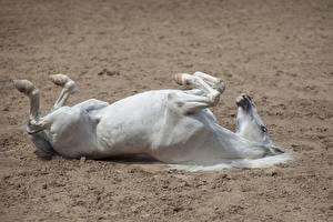 Обои Лошади Лежит животное