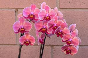 Фотография Орхидеи Крупным планом Розовая Цветы
