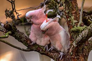 Фото Попугаи Птицы Два Розовый pink cockatoos животное