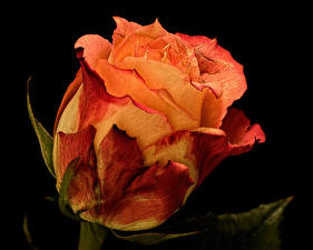 Обои для рабочего стола Роза Крупным планом Оранжевых Черный фон Сухой Цветы