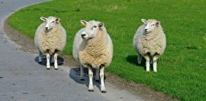 Картинка Овцы Трое 3 Траве Взгляд Животные