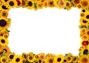 Фотография Подсолнечник Шаблон поздравительной открытки Белым фоном