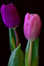 Фото Тюльпаны Крупным планом 2 Черный фон