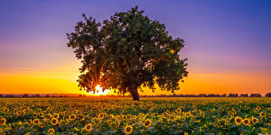 Картинка Америка Поля Подсолнухи Рассвет и закат Калифорния Дерево Солнце