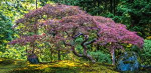 Фотографии Штаты Сады Дерево Portland Japanese Garden Природа