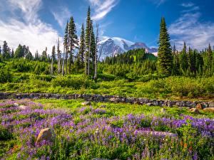 Фотографии США Горы Парк Люпин Деревьев Вашингтон Mount Rainier National Park