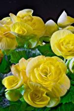 Обои Бегония Крупным планом Желтые цветок