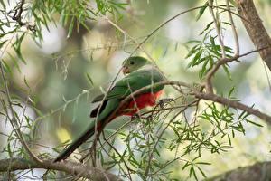 Фотография Птица Попугаи Ветки Боке Royal Parrot Животные