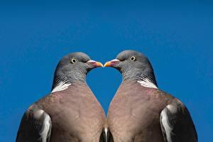 Картинки Птица Голубь Цветной фон Двое Клюв Животные