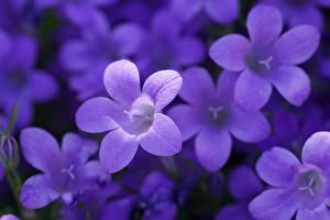 Фотографии Размытый фон Фиолетовых Колокольчики цветок