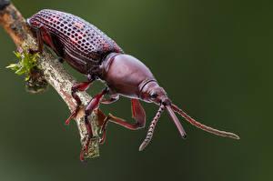 Картинка Жуки Насекомое Крупным планом brentidae Животные
