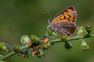 Фотографии Бабочки Насекомые Крупным планом large copper