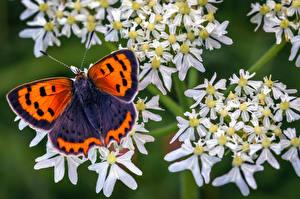 Фотография Бабочка Насекомые Крупным планом small copper