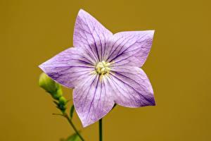 Обои Вблизи Цветной фон Звездочки Колокольчики цветок