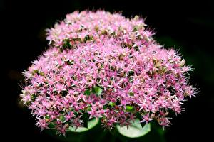 Фотография Крупным планом Розовый На черном фоне Hylotelephium telephium, orpine цветок