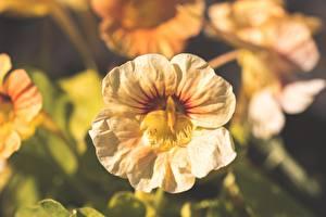 Фотография Вблизи Размытый фон Nasturtium, Tropaeolum Цветы