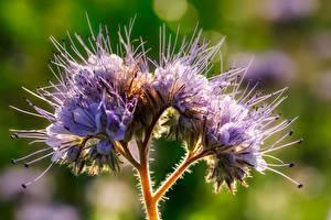 Картинка Вблизи Фиолетовый Боке Phacelia Цветы