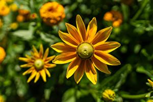 Фото Крупным планом Размытый фон Желтый Rudbeckia цветок