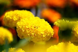 Картинки Вблизи Бархатцы Размытый фон Желтый Цветы