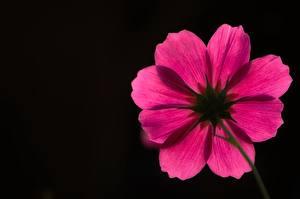 Фотографии Космея Черный фон Розовый Цветы