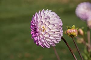 Обои Георгины Размытый фон Бутон цветок