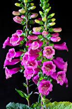 Фотографии Дигиталис Вблизи На черном фоне Розовых Бутон Цветы