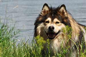 Фотография Собака Голова Смотрят Трава Finnish Lapphund