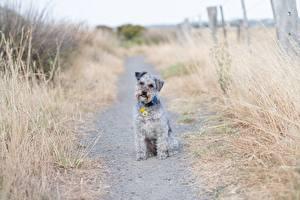 Картинка Собака Траве Тропа Сидящие Взгляд Lakeland Terrier животное