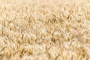 Обои Поля Пшеница Размытый фон Колос Цветы картинки