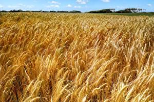 Обои Поля Пшеница Много Колос Природа картинки