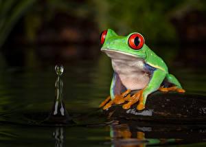 Фотография Лягушка Глаза Зеленая red-eyed tree frog животное