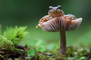 Фото Лягушка Грибы природа Размытый фон Животные