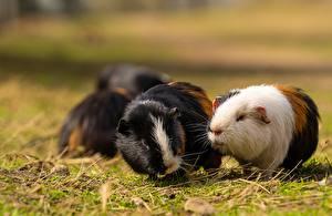 Фотографии Морские свинки Грызуны Трава Боке Животные
