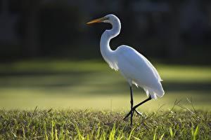 Фото Цапля Трава Боке Сбоку Белый животное