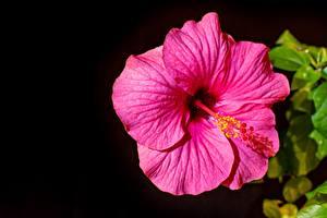 Обои Гибискусы Черный Розовый Цветы