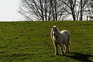 Картинка Лошади Пони Трава Животные