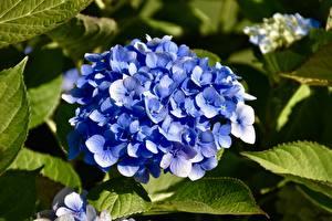 Обои Гортензия Крупным планом Синий Цветы