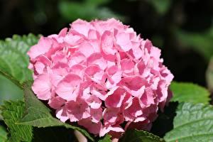Фотографии Гортензия Крупным планом Розовых Размытый фон цветок