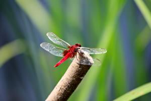 Фото Насекомое Стрекозы Боке Красная животное