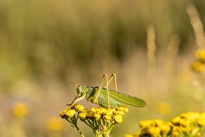 Обои Насекомые Кузнечики Размытый фон Сбоку Зеленый Животные картинки