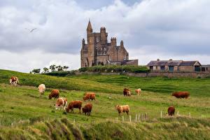 Обои Ирландия Замки Корова Башня Облака Classiebawn Castle Природа Животные картинки