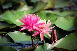 Картинки Лотос Розовая Боке Цветы