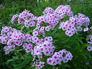 Фото Флоксы Много цветок