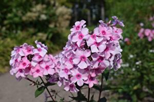 Фото Флоксы Розовые Размытый фон цветок