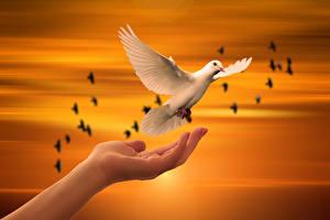 Фотографии Голуби Птицы Руки Животные