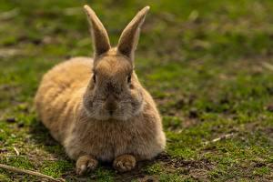 Фото Кролик Размытый фон Лежа животное