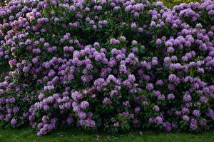 Картинки Рододендрон Много Кустов Фиолетовая цветок