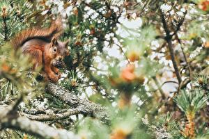 Фото Белки На ветке Боке Шишка Животные